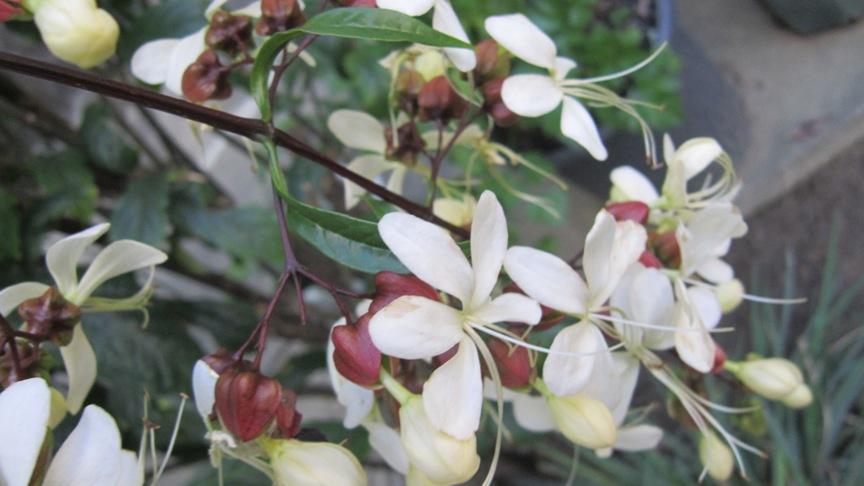 レモンの収穫_b0214473_14151037.jpg