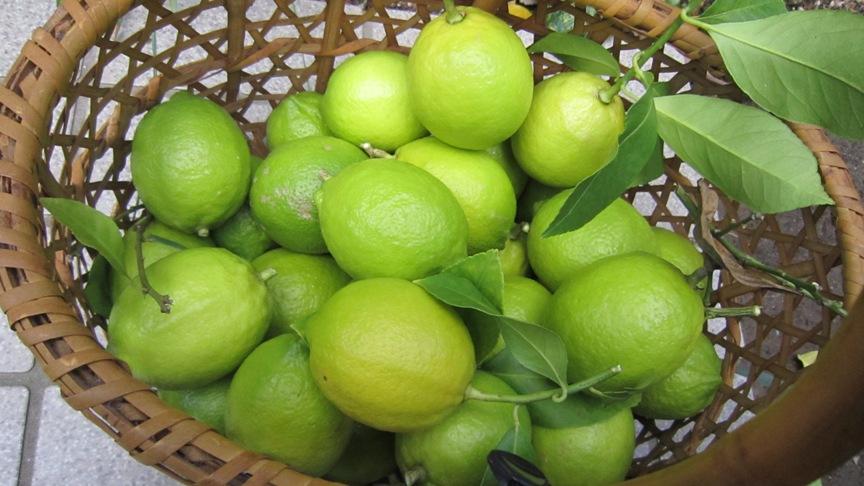 レモンの収穫_b0214473_1441687.jpg