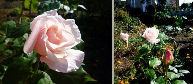 バラが咲きました_f0211789_2221565.jpg