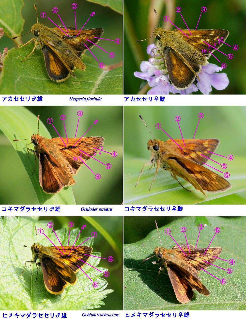 アカセセリ×コキマダラセセリ×ヒメキマダラセセリ 翅表比較図_a0146869_6515381.jpg