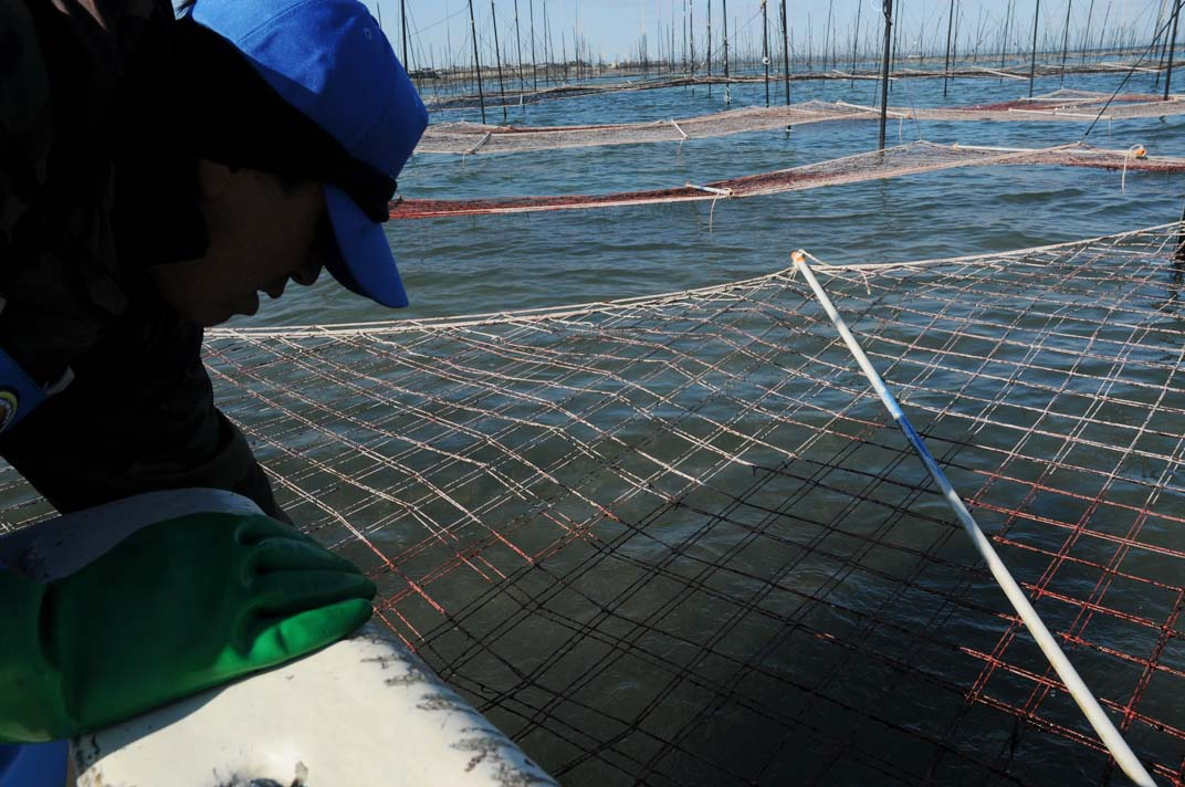 海苔:壊滅的な危機_c0052876_1334995.jpg