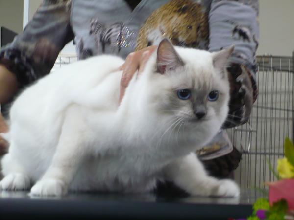 TICA GCU CAT SHOW  Justitia ちゃん_e0033609_19351646.jpg