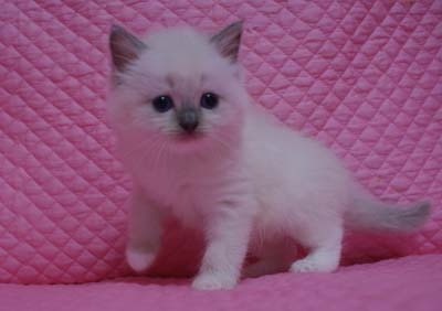 TICA GCU CAT SHOW  Justitia ちゃん_e0033609_19375513.jpg
