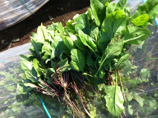 ホウレン草の収穫・・・・美味しい季節がやってまいりました_c0222448_15213968.jpg