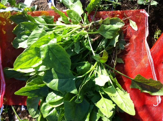 ホウレン草の収穫・・・・美味しい季節がやってまいりました_c0222448_1521653.jpg