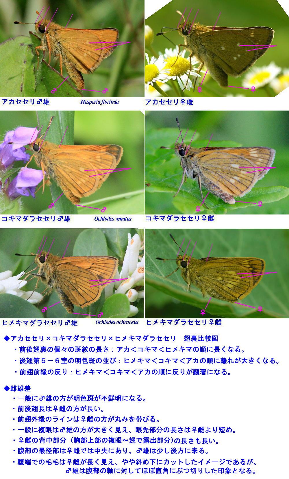 アカセセリ×コキマダラセセリ×ヒメキマダラセセリ 翅裏比較図_a0146869_2049878.jpg
