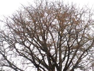 秋元美誉さん家の銀杏が鈴なりです。_d0027486_13585480.jpg