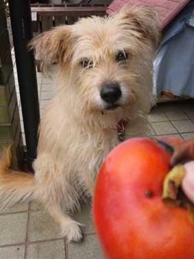 柿収穫!なぜかスイカも…_d0157021_1713553.jpg