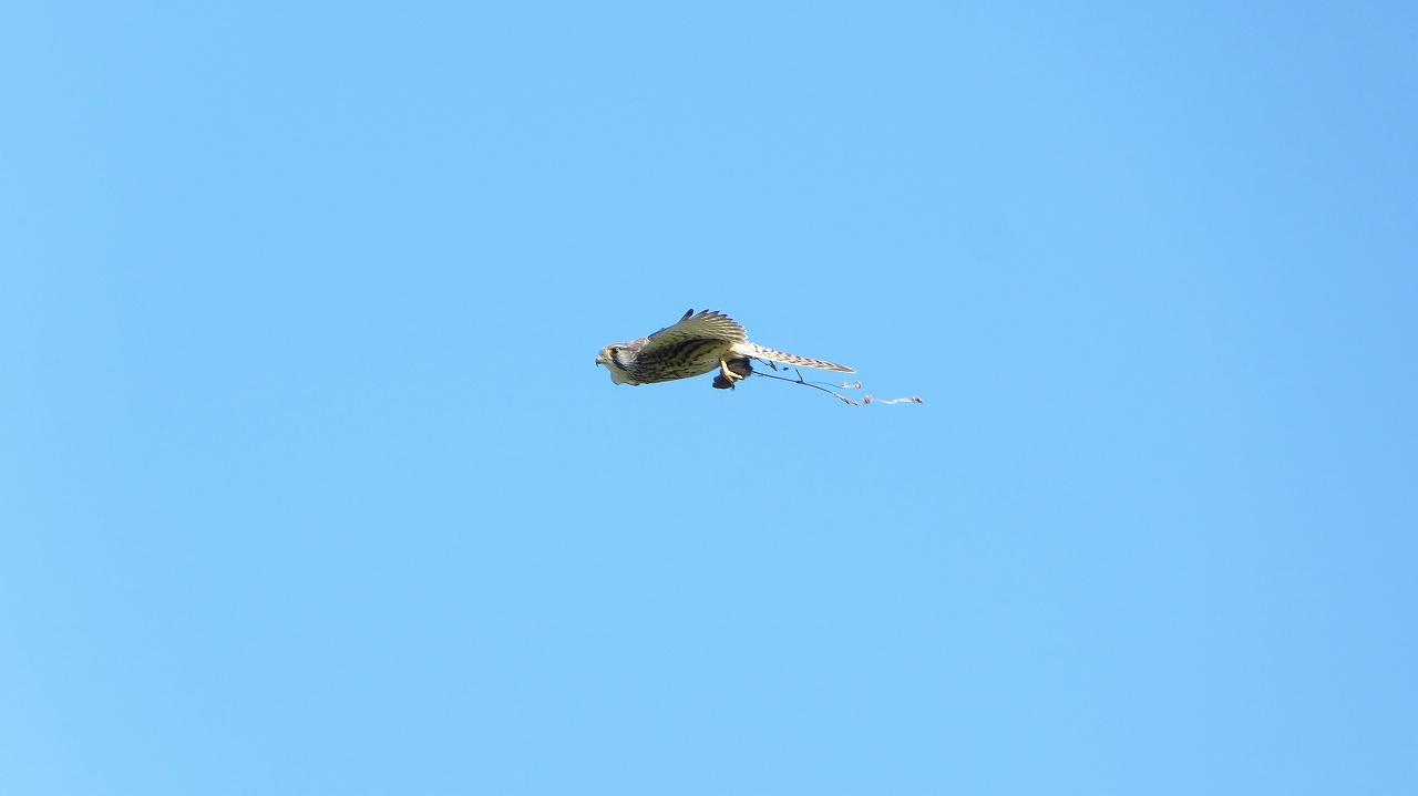 【 日記 11/24 】 飛翔姿に挑戦だい! (大久保農耕地シリーズ)_a0185081_1712543.jpg