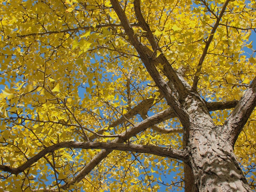 「大阪城公園の銀杏」_a0133692_15393870.jpg