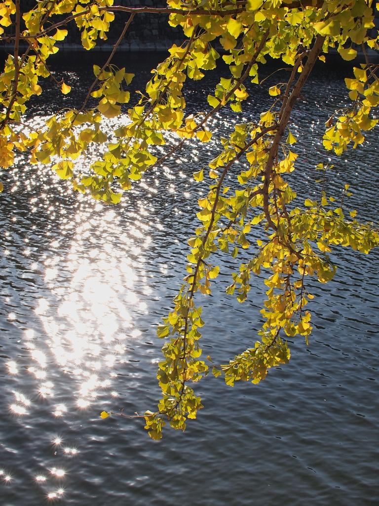 「大阪城公園の銀杏」_a0133692_16233271.jpg
