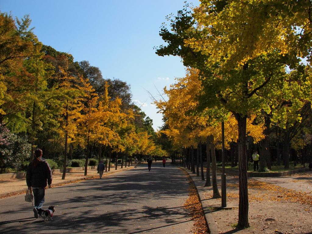 「大阪城公園の銀杏」_a0133692_1624983.jpg