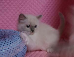 ラグドール子猫ちゃん もうすぐ2か月 マリリン子_e0033609_19344795.jpg