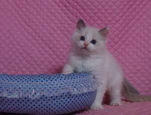 ラグドール子猫ちゃん もうすぐ2か月 マリリン子_e0033609_19381493.jpg