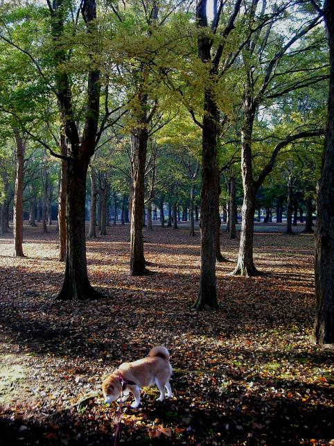 都立野川公園の紅葉 雨上がりの朝_e0165983_10333061.jpg