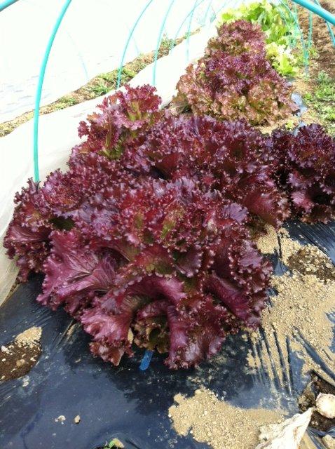 カリフラワー・・赤レタス収穫真っ最中・・美味しい・・!_c0222448_11235810.jpg