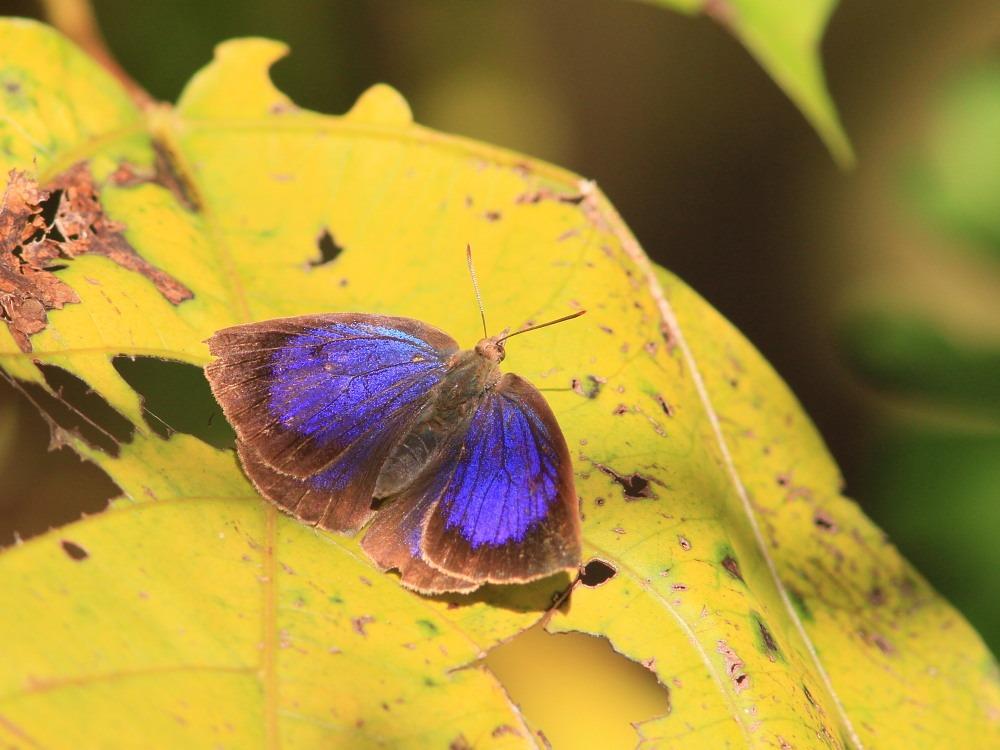 ムラサキシジミ  ♂雄は幻光色で怪しく輝きます。  2011.11.23千葉県_a0146869_6512973.jpg