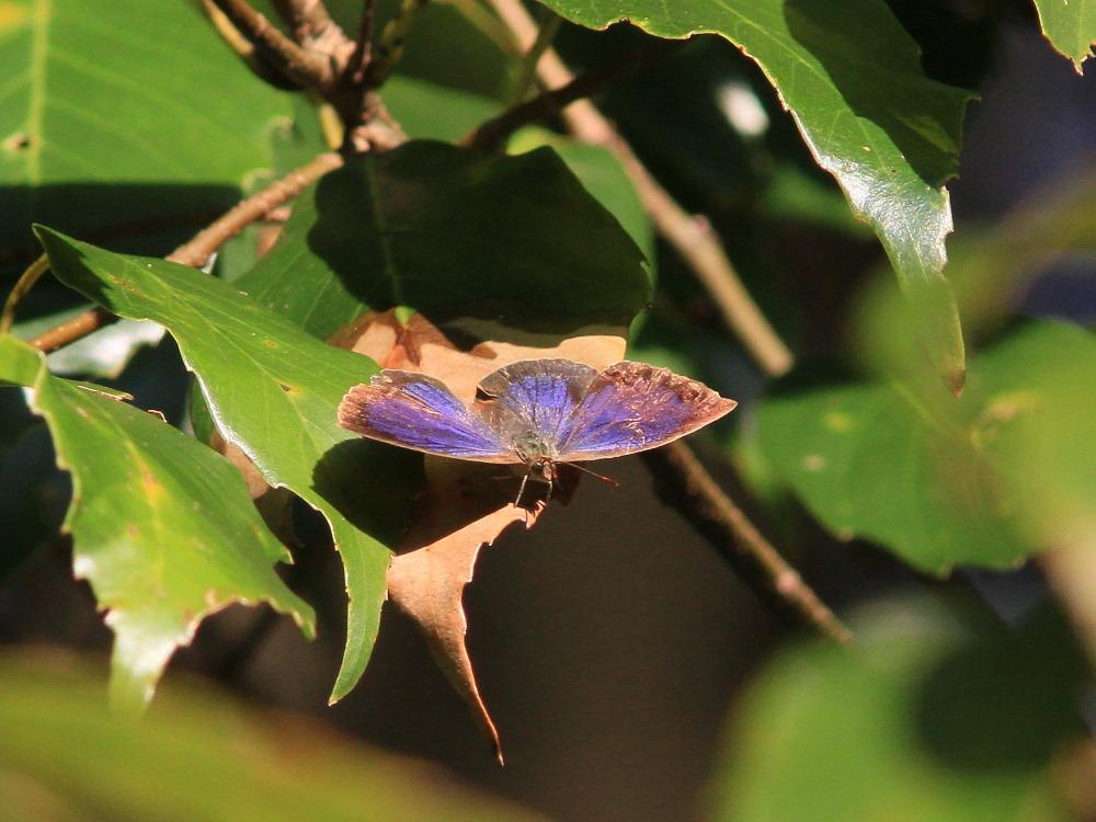 ムラサキシジミ  ♂雄は幻光色で怪しく輝きます。  2011.11.23千葉県_a0146869_653335.jpg