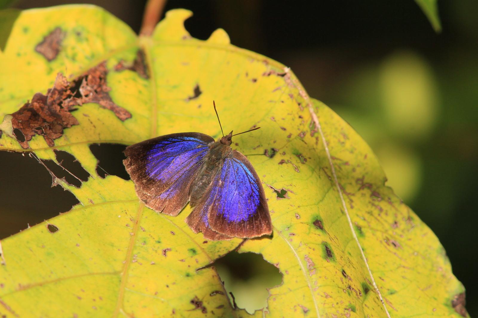 ムラサキシジミ  ♂雄は幻光色で怪しく輝きます。  2011.11.23千葉県_a0146869_65837100.jpg