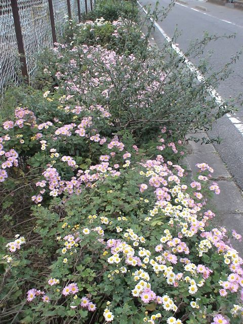 母の菊`11_d0016397_357252.jpg