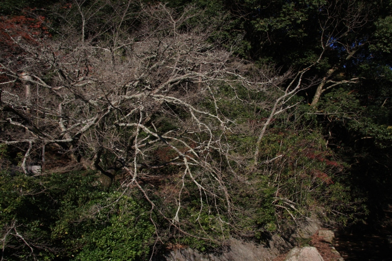 宮島の紅葉を追ってⅢ_b0190540_1629877.jpg