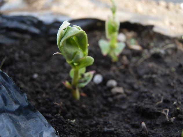 本日の収穫は大根、白菜、水菜、レタスです_c0053863_22362162.jpg