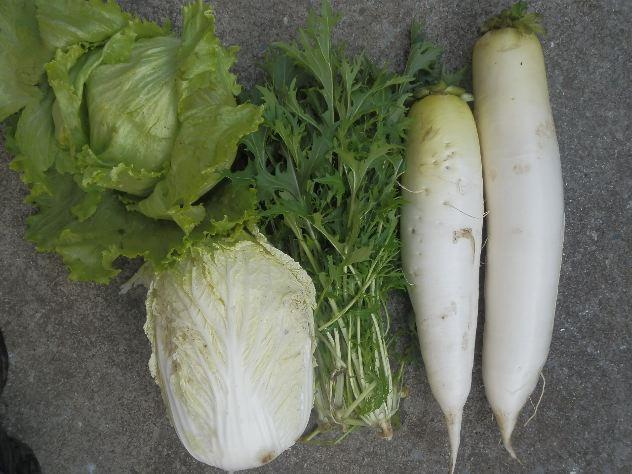 本日の収穫は大根、白菜、水菜、レタスです_c0053863_22391826.jpg
