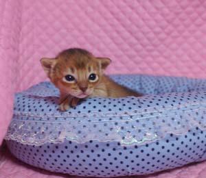 アビシニアン子猫ちゃん生まれました ルディ4兄弟_e0033609_1229193.jpg