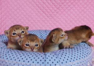 アビシニアン子猫ちゃん生まれました ルディ4兄弟_e0033609_12301228.jpg