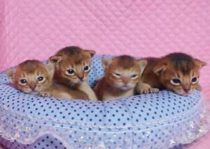 アビシニアン子猫ちゃん生まれました ルディ4兄弟_e0033609_12304496.jpg