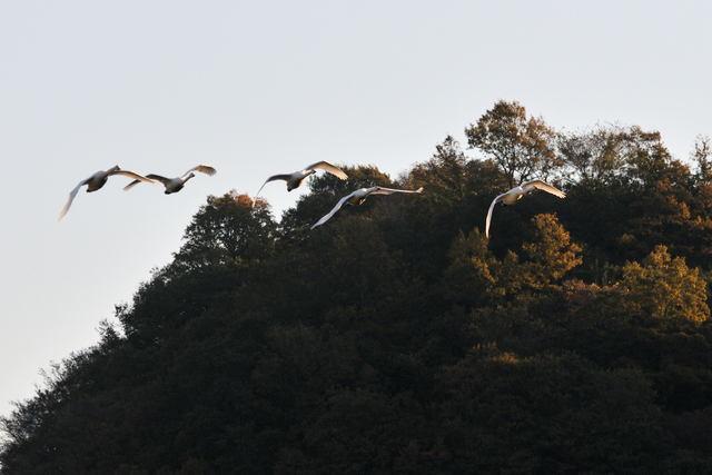 白石川の白鳥_b0223668_8462117.jpg
