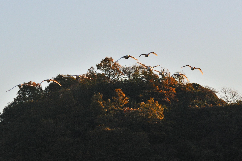 白石川の白鳥_b0223668_847069.jpg