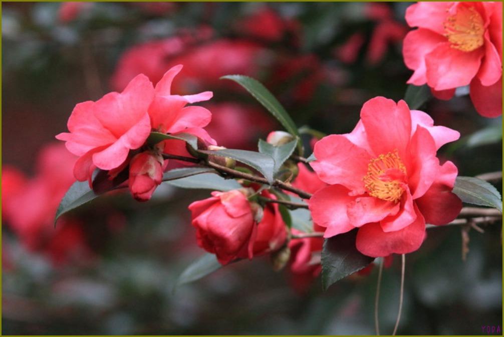 タヒバリ  どこにいても保護色です。  2011.11.27埼玉県_a0146869_198564.jpg