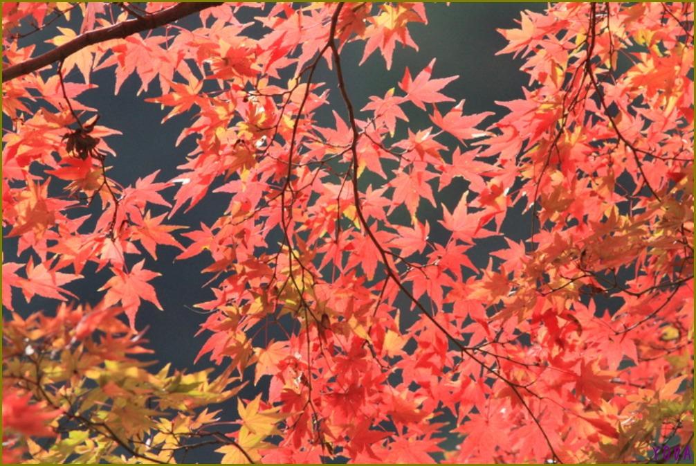 タゲリ  たくさんの群れに感動です。  2011.11.27埼玉県_a0146869_2142291.jpg