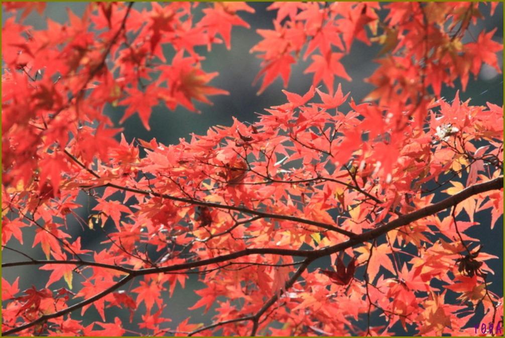 タゲリ  たくさんの群れに感動です。  2011.11.27埼玉県_a0146869_2144923.jpg