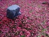 金福寺、モミジ輝く黄昏の庭_b0067283_16535137.jpg