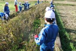 服間小学校の大豆収穫_e0061225_11483613.jpg