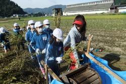 服間小学校の大豆収穫_e0061225_11524347.jpg