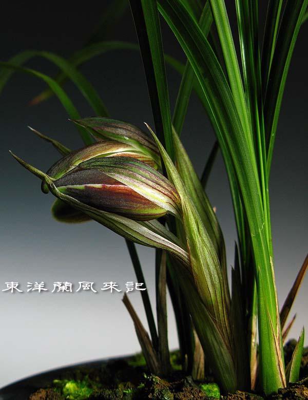 奥地蘭・朶々香「複色花兜花O」            No.1083_d0103457_215245.jpg