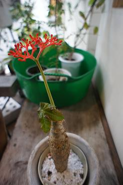 「サンゴアブラギリ」 赤い珊瑚_a0216406_22221250.jpg