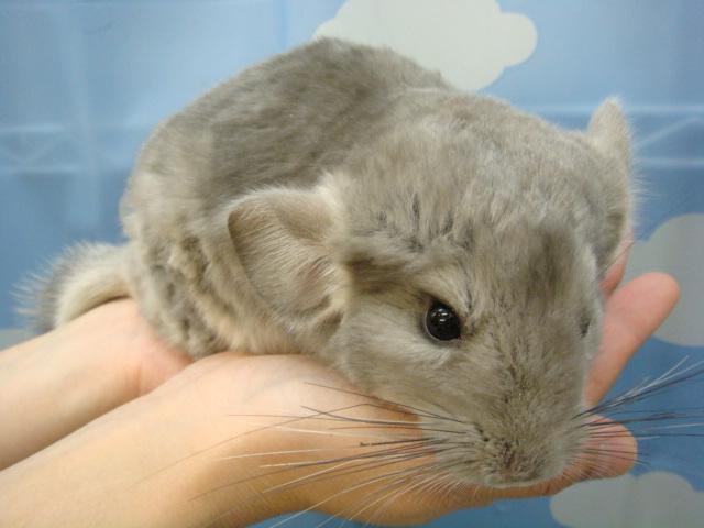 ウサギ・モルモット・チンチラ・インコ_f0189122_1737035.jpg