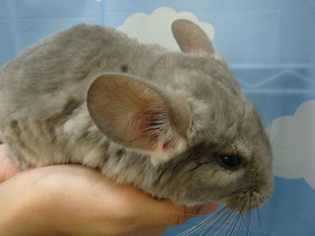 ウサギ・モルモット・チンチラ・インコ_f0189122_17371686.jpg