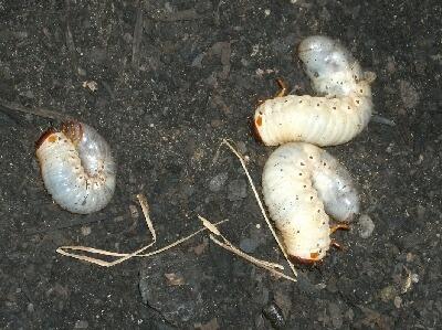 サトイモの堆肥のマルチにカブトムシの幼虫_f0018078_1915258.jpg