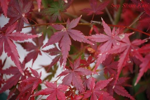 庭の紅葉_a0164068_11503232.jpg