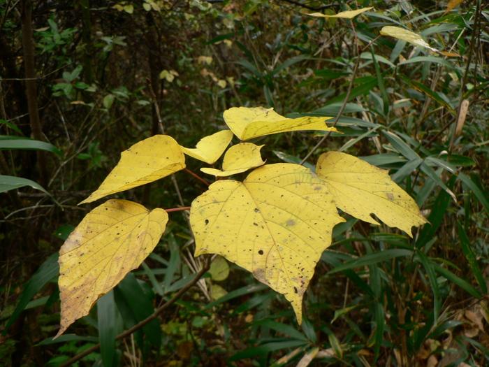 コシアブラ  -黄葉ー_f0219710_75978.jpg