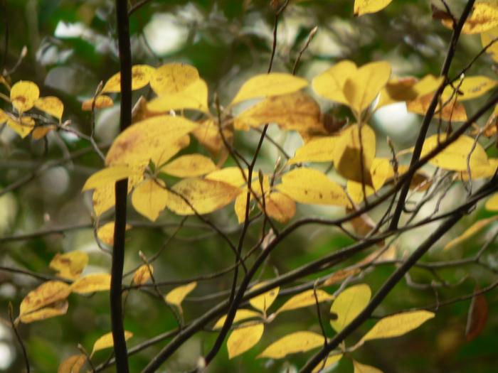 コシアブラ  -黄葉ー_f0219710_803175.jpg