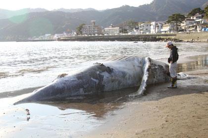 クジラ漂着_e0016130_1142975.jpg