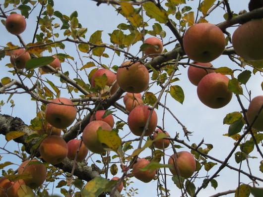 りんご☆天国へ~~♪_a0125419_9403086.jpg