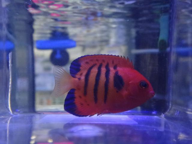 海水魚・サンゴ・水草・淡水魚_f0189122_11285893.jpg