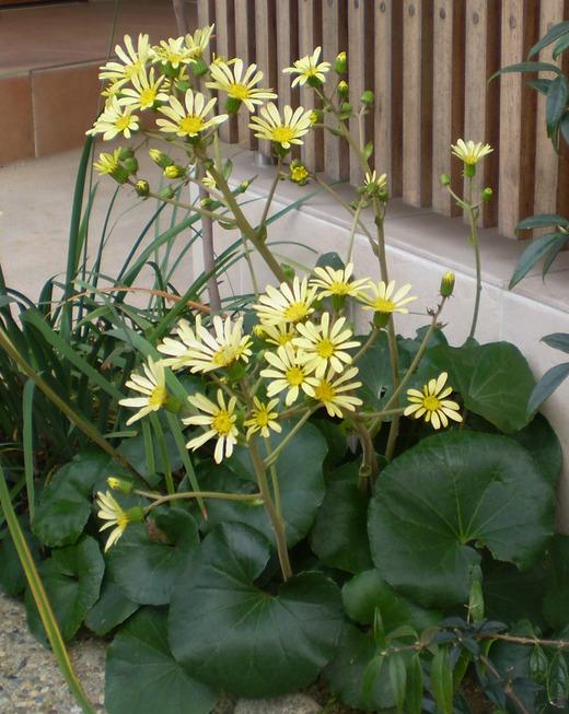 ツワブキ・白兎の花はやさしいクリーム色!_f0139333_22163172.jpg